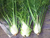 FENNEL image
