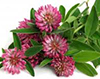RED CLOVER image